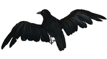 Crow in Flight - 30 X 25cm