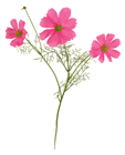 Deep Pink Cosmos Flower Stem - 48cm