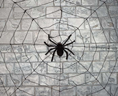Spider with BLack Web