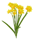 Narcissus Daffodil Bunch - 44cm