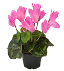 Potted Cyclamen - Pink