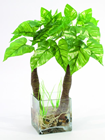 POTHOS IN GLASS POT 50CM
