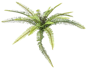 Narrow Leaved Forest Fern