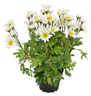 Potted Marguerite Daisy Plant - 30cm