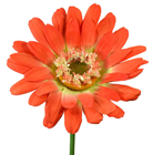 Giant Orange Artificial Gerbera - 100cm