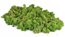 Reindeer Moss - Dark Green