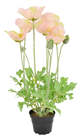 Salmon Potted Poppy Plant - 45cm