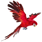 Red Parrot in Flight - 73 x 76cm