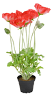 Red Potted Poppy Plant - 45cm