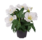 White Christmas Rose Plant in Pot