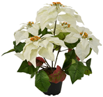 White Potted Poinsettia
