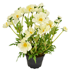 Cream Potted Cosmos Plant - 30cm