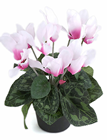 Potted Cyclamen - Two Tone Pink