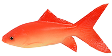 Rubber Goldfish