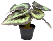 Begonia Rex Painted Leaf Plant - Green