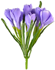 Purple Crocus Bunch