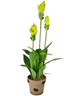 Ginger Lily Plant - 95cm