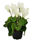 Potted Cyclamen - White