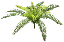 Medium Forest Fern