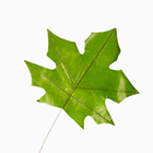 37CM MAPLE LEAF WITH METAL STEM
