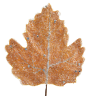 Frozen Autumn Leaf - 16 x 18cm