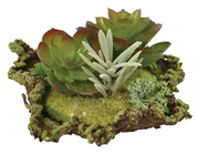 Succulent Arrangement on Moss Mat - Style B