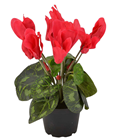 Potted Cyclamen - Red