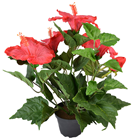 Coral-Red Potted Hibiscus Plant