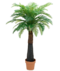 Canary Date Palm - 150cm