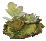Succulent Arrangement on Moss Mat - Style A