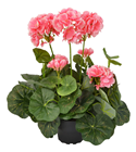Apricot Blush Potted Pelargonium - 35cm