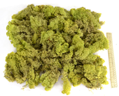 Reindeer Moss - Light Green