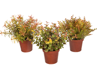 Autumn Foliage Plants in Pots - Set