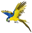 Blue Parrot in Flight - 73 x 76cm