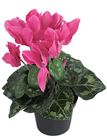 Potted Cyclamen - Cerise Pink