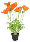 Orange Potted Poppy Plant - 45cm
