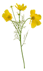 Yellow Cosmos Flower Stem - 48cm
