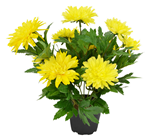 Yellow Potted Chrysanthemum Plant - 30cm