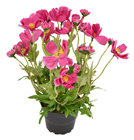 Pink Potted Cosmos Plant - 30cm