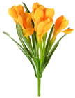 Orange Crocus Bunch
