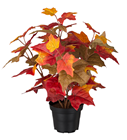 Autumn Maple Plant in Pot